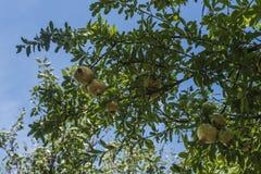Träd med röda och gula frukter för granatäpplen, gräsplansidor Arkivfoto