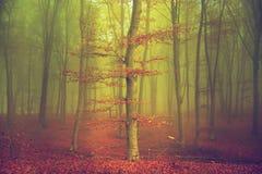 Träd med röda sidor i dimmig skog Arkivbild