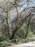 Träd med rankan Fotografering för Bildbyråer