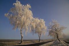 Träd med rimfrost Arkivfoto