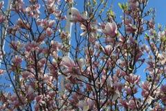 Träd med rosa färgblommor - magnolia fotografering för bildbyråer