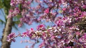 Träd med rosa färgblommor och svänga i vinden lager videofilmer