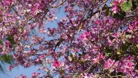 Träd med rosa färgblommor och svänga i vinden arkivfilmer
