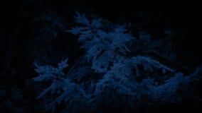 Träd med sörjer kottar på natten stock video
