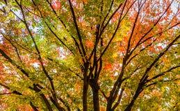 Träd med sidor i nedgångfärger av rött, apelsinen och guling Fotografering för Bildbyråer