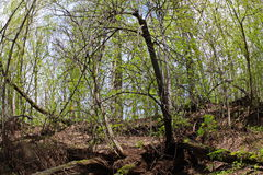 Träd med stor fot Arkivbild