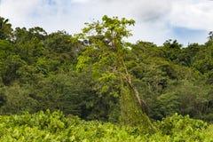 Träd med två leguaner på shoreline av Gatun sjön, Panama arkivfoto