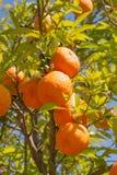 Träd med typiska apelsiner, Spanien Royaltyfri Bild