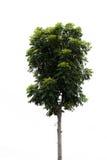 Träd med vit bakgrund arkivfoton