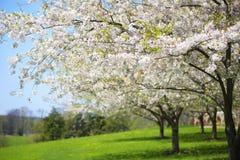 Träd med vita vårblomningar av körsbäret i trädgården Royaltyfri Bild