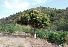 Träd mellan vingårdar Arkivfoton
