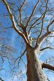 Träd mot vinterhimlen Arkivfoto