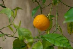 Träd mycket av apelsiner och tangerin i Spanien Arkivfoto