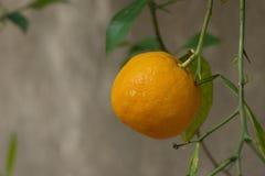 Träd mycket av apelsiner och tangerin i Spanien Royaltyfri Fotografi