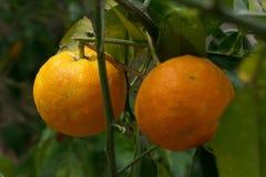 Träd mycket av apelsiner och tangerin i Spanien Royaltyfria Bilder