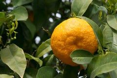 Träd mycket av apelsiner och tangerin i Spanien Royaltyfria Foton