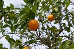 Träd mycket av apelsiner och tangerin i Spanien Fotografering för Bildbyråer