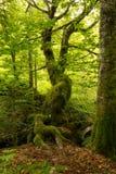 Träd mycket av mossa Arkivfoto