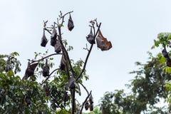Träd mycket av roosting av flygrävar Fotografering för Bildbyråer