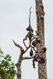 Träd mycket av roosting av flygrävar Royaltyfri Foto