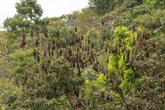 Träd mycket av roosting av flygrävar Arkivfoton