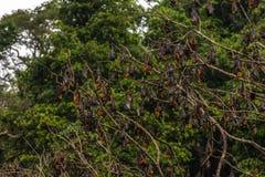 Träd mycket av roosting av flygrävar Royaltyfri Fotografi