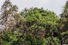 Träd mycket av roosting av flygrävar Royaltyfria Foton