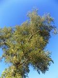 Träd nära Crookham, Northumberland, England Arkivbild