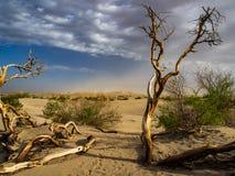 Träd nära dynfält i Death Valley Arkivbilder