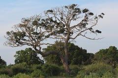 Träd Nationalpark Yala Royaltyfri Bild