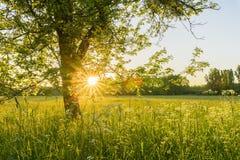 Träd och äng på solnedgången Arkivfoton