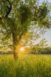Träd och äng på solnedgången Arkivbilder