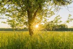 Träd och äng på solnedgången Royaltyfri Bild