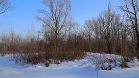 Träd och buskar utan sidor i vinterskog stock video