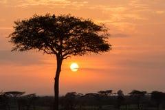 Träd och fåglar silhouetted på soluppgång Fotografering för Bildbyråer