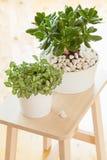 Träd och fittonia för pengar för växt för jade för HouseplantCrassulaovata in Royaltyfria Bilder