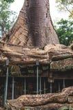 Träd och gallerier i templet för Ta Prohm, Cambodja royaltyfri bild