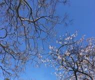 träd och körsbärsröd blomning Arkivfoto