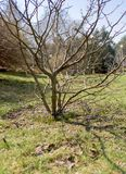 träd och knoppar på våren mot himlen arkivfoton