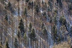 Träd och snö (textur) Arkivfoton