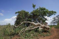Träd och stam vid banan Royaltyfria Bilder