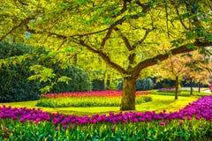 Träd- och tulpanblommor i vårträdgård Keukenhof Nederländerna, arkivbild