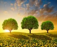 Träd på äng med maskrosor på solnedgången Arkivbilder