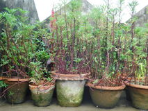 Träd på att arbeta i trädgården för kruka Arkivbilder