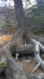 Träd på backen, Banff nationalpark, Kanada Royaltyfria Foton