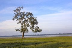 Träd på den Kaziranga nationalparken royaltyfria bilder