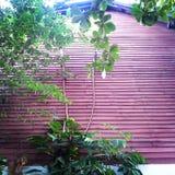 Träd på den röda väggen, Thailand Royaltyfri Bild