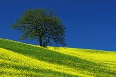 Träd på det gula blommafältet med klar blå himmel, Tuscany, Italien royaltyfria foton