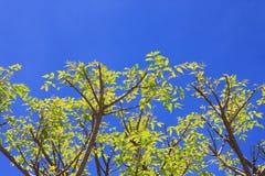 Träd på en himmelblått Arkivfoto