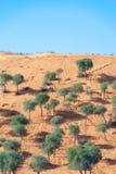 Träd på en sanddyn med kamelspår royaltyfri fotografi